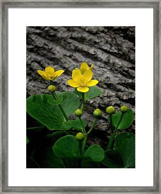 Marsh Marigold Wildflower Framed Print by Henry Kowalski