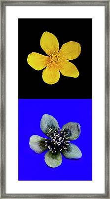 Marsh Marigold In Uv Light And Daylight Framed Print by Cordelia Molloy