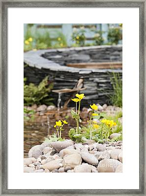 Marsh Marigolds Framed Print by Anne Gilbert