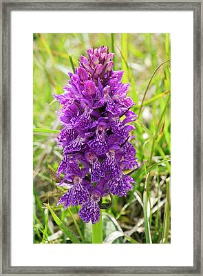 Marsh Orchid (dactylorhiza Osmanica) Framed Print