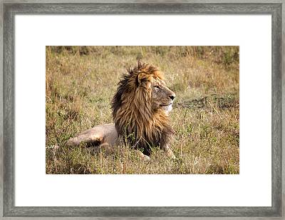 Marsh Pride Male Morani Framed Print by June Jacobsen