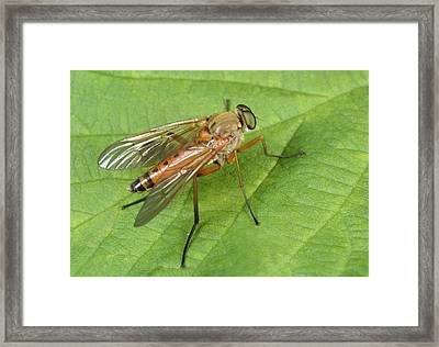 Marsh Snipe-fly Framed Print