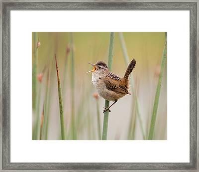 Marsh Wren Framed Print by Doug Herr
