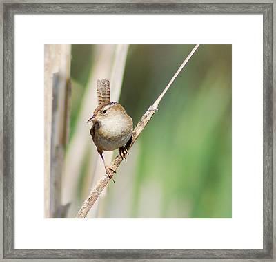 Framed Print featuring the photograph Marsh Wren by Erin Kohlenberg