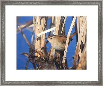 Marsh Wren Framed Print by John Burk
