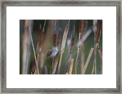 Marsh Wren Singing From A Cattail Framed Print