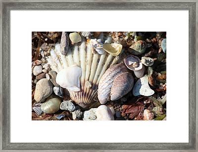 Shells Along The Seashore Framed Print by Carol Groenen