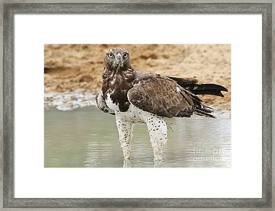 Martial Eagle - Eyes Of Focus Framed Print