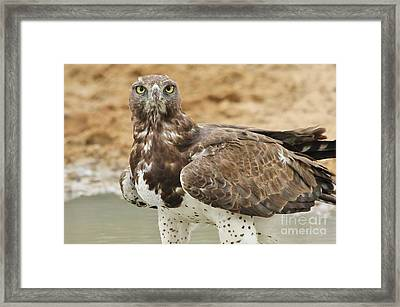 Martial Eagle - Yellow Focus Framed Print