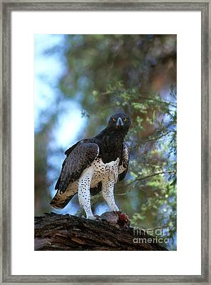 Martial Eagle Eats Dik Dik Framed Print
