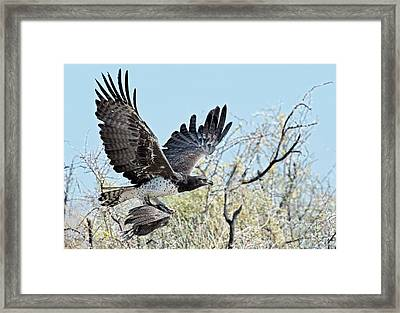 Martial Eagle In Flight With Prey Framed Print
