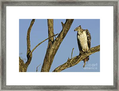 Martial Eagle With Its Prey Framed Print