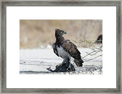 Martial Eagle With Live Guinea Fowl Prey Framed Print