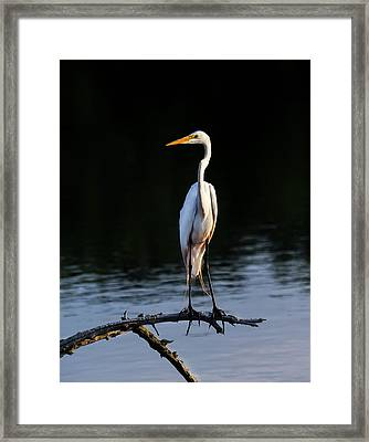 Maryland Great Egret Framed Print