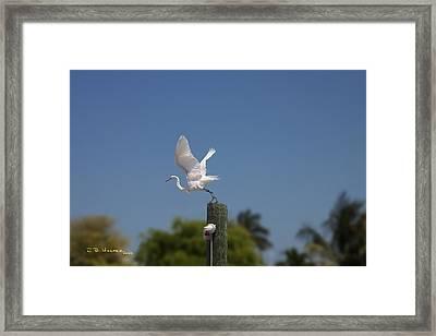 Mary's Egret Framed Print