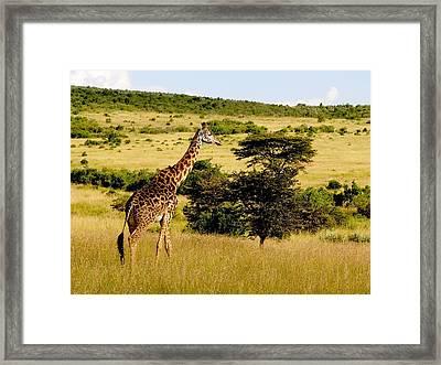 Masaai Giraffe Framed Print