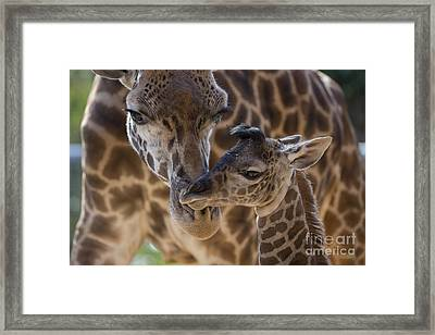 Masai Giraffe And Calf Framed Print by San Diego Zoo