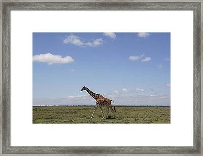 Masai Giraffe On Savanna Masai Mara Framed Print by Hiroya Minakuchi