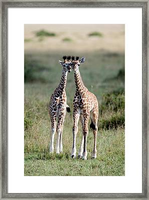 Masai Giraffes Giraffa Camelopardalis Framed Print by Panoramic Images