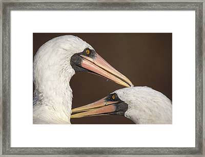 Masked Booby Couple Allopreening Framed Print by Tui De Roy