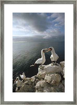 Masked Booby Courting Pairs Roosting Framed Print by Tui De Roy