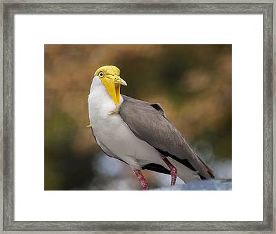 Masked Lapwing Framed Print
