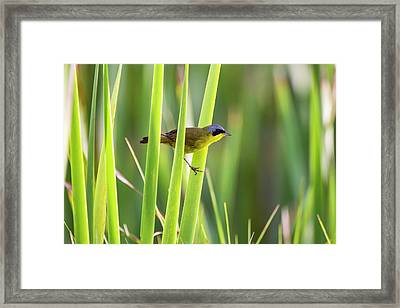 Masked Yellowthroat Geothlypis Framed Print