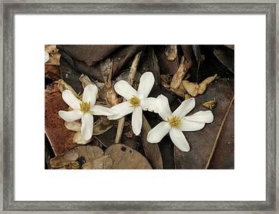 Mass Flowering Of Dipterocarp Trees Framed Print by Fletcher & Baylis
