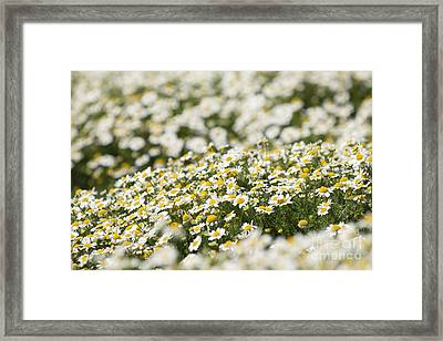 Masses Of Mayweed Framed Print by Anne Gilbert