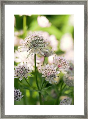 Masterwort (astrantia Major) Flowers Framed Print