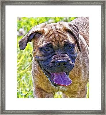 Mastif Pup Framed Print