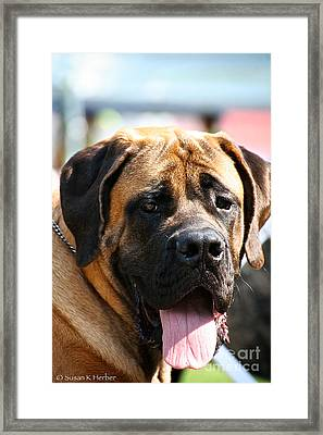 Mastiff Framed Print by Susan Herber
