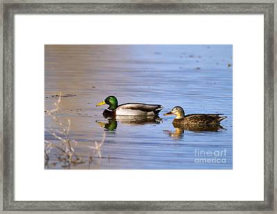 Mated Mallards Framed Print