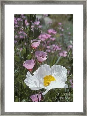 Matilija Poppy And Clarkia Framed Print by Dan Suzio