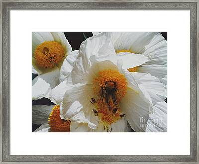 Matilija Poppy Framed Print by Gail Salitui