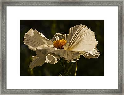 Matilija Poppy Framed Print by Lee Kirchhevel