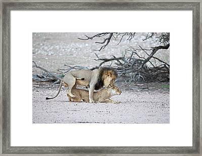 Mating African Lions Framed Print