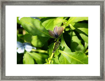 Mating Dance Framed Print