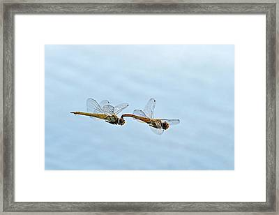 Mating Dragonflies Framed Print by Tony Camacho