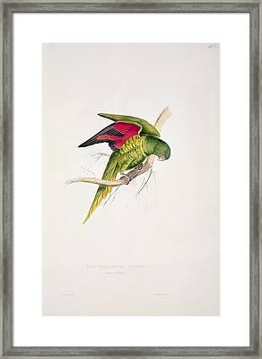 Matons Parakeet Framed Print by Edward Lear