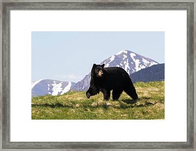 Mature Black Bear  Ursus Americanus Framed Print by Doug Lindstrand