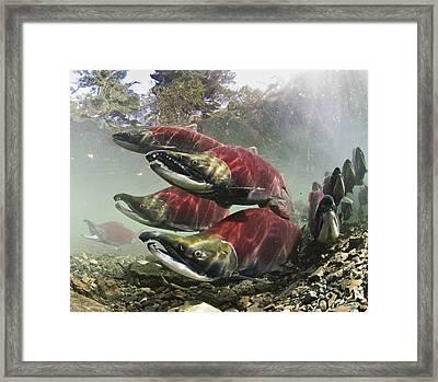Mature Male Sockeye Salmon On Spawning Framed Print by Thomas Kline