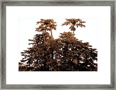 Maui Coconut Palms Framed Print by J D Owen