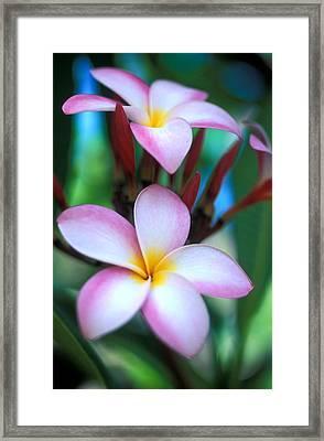 Maui Plumeria Framed Print by Kathy Yates