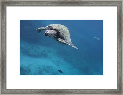 Maui Sea Turtle Approach Framed Print