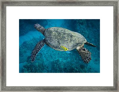 Maui Sea Turtle Cleaning Framed Print