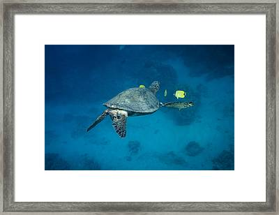 Maui Sea Turtle Cleaning Rear View Framed Print