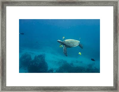 Maui Sea Turtle Cleaning Station Distant Framed Print