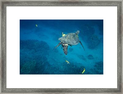 Maui Sea Turtle Cleaning Station Framed Print