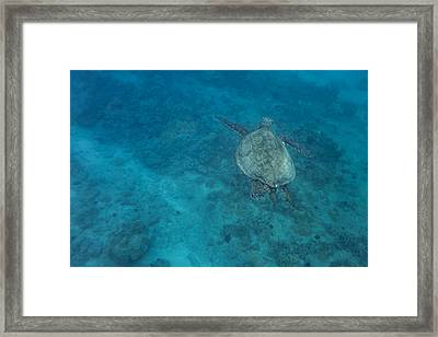 Maui Sea Turtle Comes In For A Landing Framed Print